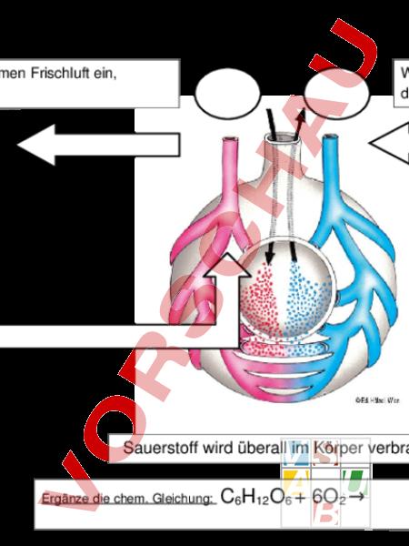 Arbeitsblatt Lunge Und Atemwege : Unterrichtsmaterial biologie zellbiologie