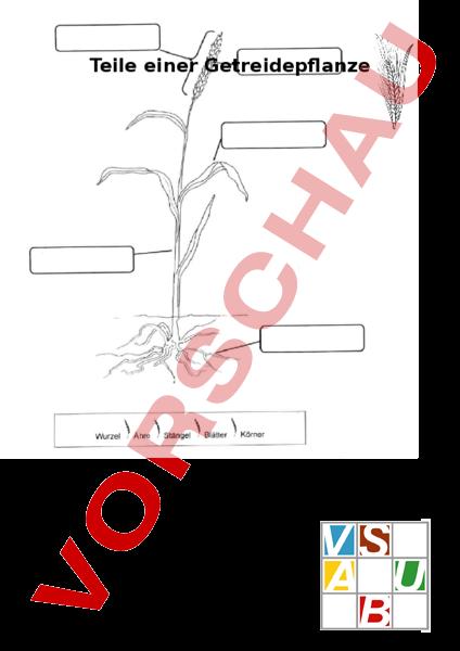 arbeitsblatt teile einer getreidepflanze biologie pflanzen botanik. Black Bedroom Furniture Sets. Home Design Ideas