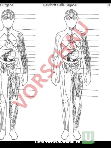 Arbeitsblatt: Organe des menschlichen Körpers - Biologie - Anatomie ...